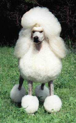 Poodle (Standard, Miniature and Toy)
