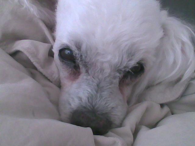 lady poodle