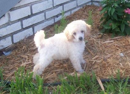 Mini Poodle Pup at 3 months