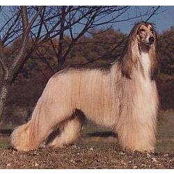 Afghan hound standing on the grass