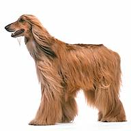 Afghan Hound Cut out on a White Background