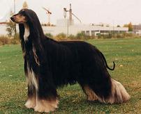 Dark colored Afghan hound