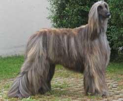 Older looking Afghan Hound