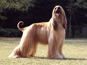Another Afghhan Hound Standing on the Grass