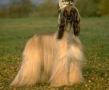 Afghan Hound Looking Straight at the Camera
