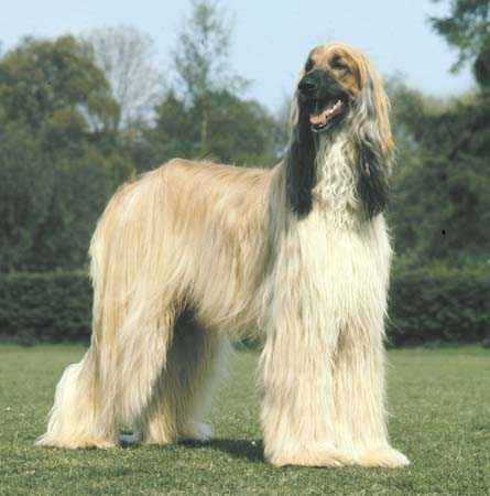 White Afghan Hound with a Grin on his Face