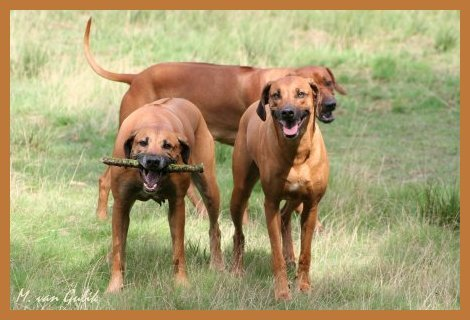 My Rhodesian Ridgebacks: Simbha, Badu and Ntombi
