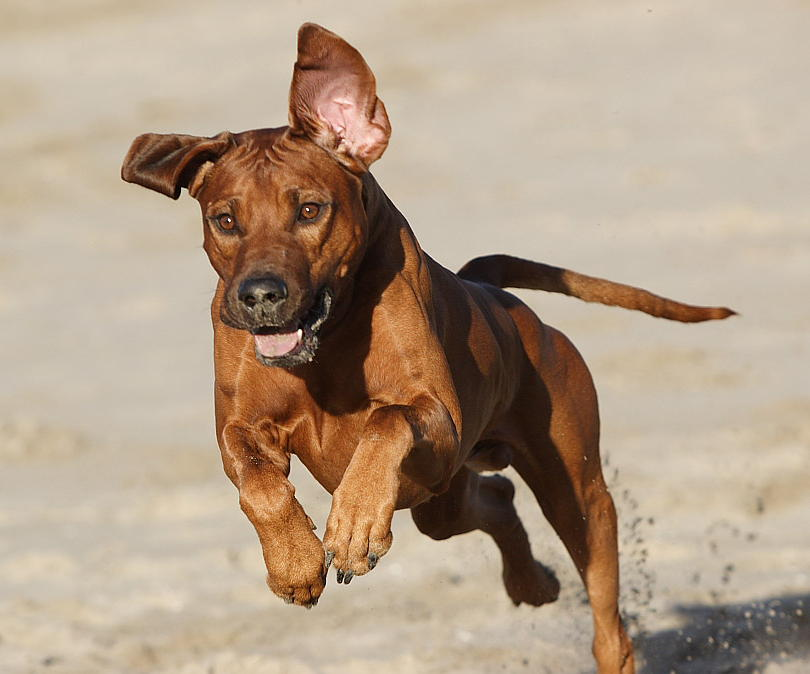 Rhodesian Ridgeback in hot pursuit!