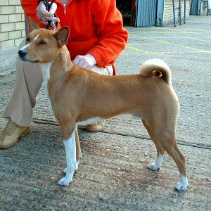 This Basenji's Taking a Day Out in Town