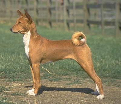 A Proud Looking Basenji