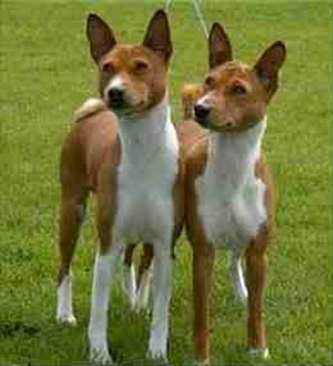 Two Basenjis Like Peas in a Pod