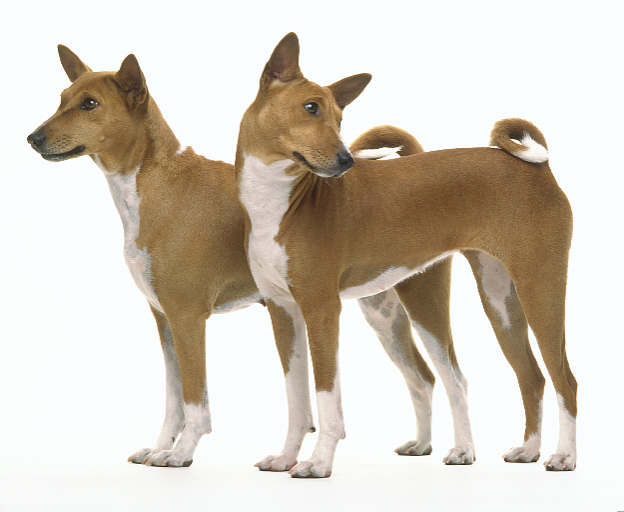 Great Photo of Two Basenjis