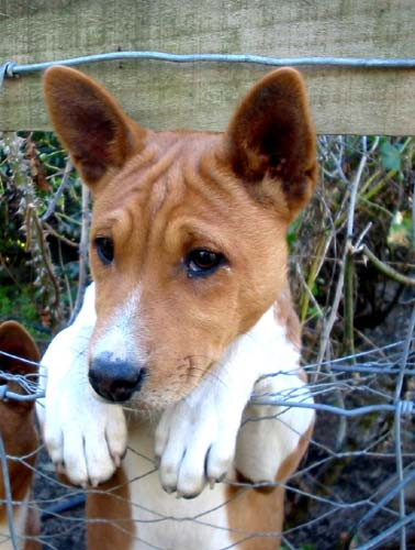 Basenji Puppy at 8 Weeks