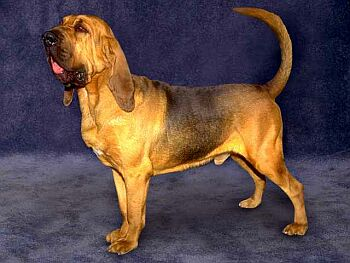 Bloodhound Dog Breed Information Puppies Amp Pictures