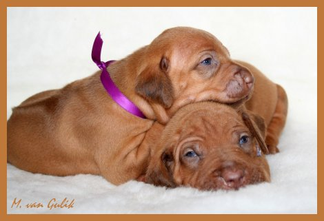 Two female livernose ridgebacks puppies