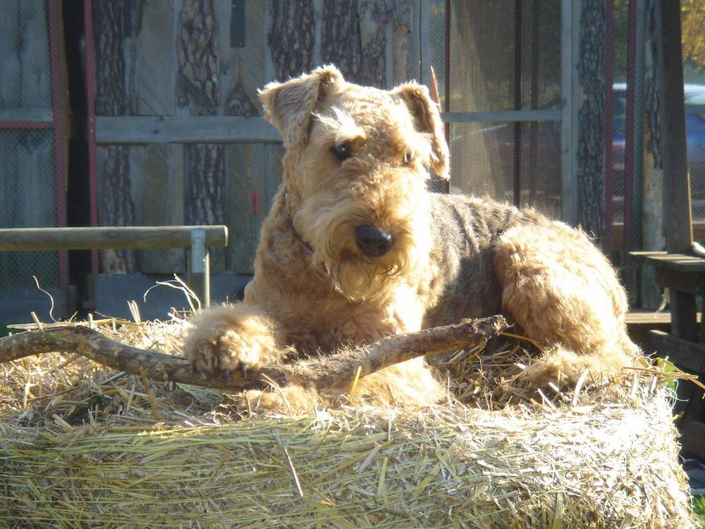 Airedale Terrier relaxing on a stack of hay