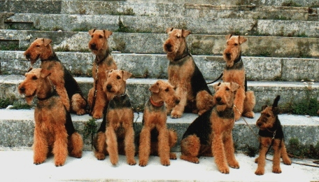 A Group of Airedales