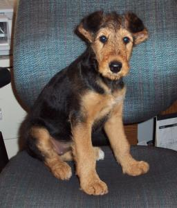 Airedale Terrier at 3 months
