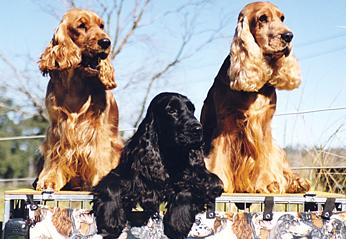 A Group of Cocker Spaniels