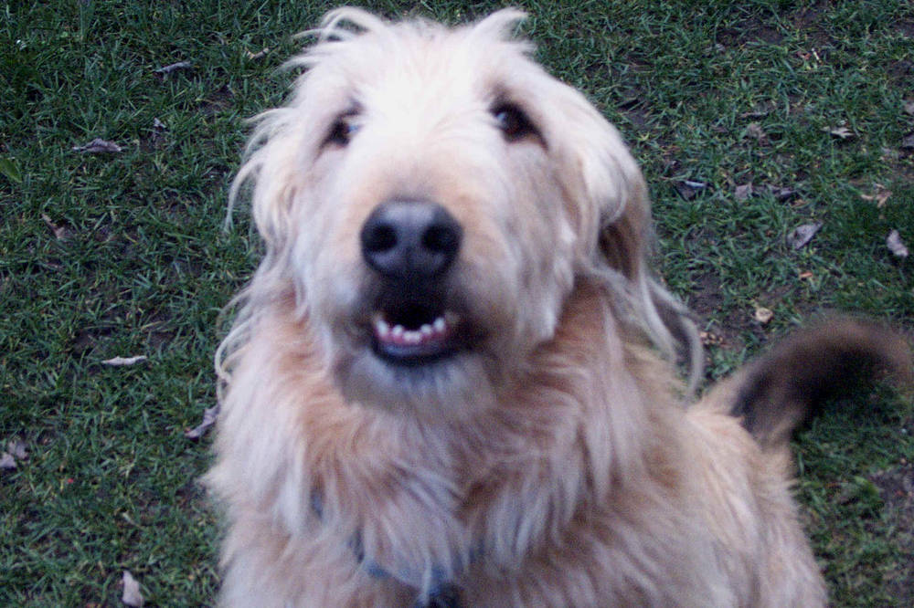Otterhound smiling