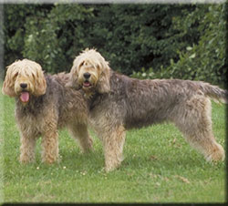 Two Otterhound's
