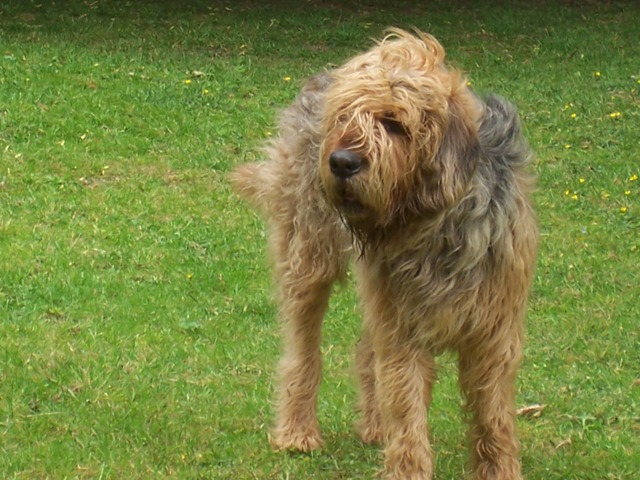 Otterhound looking right