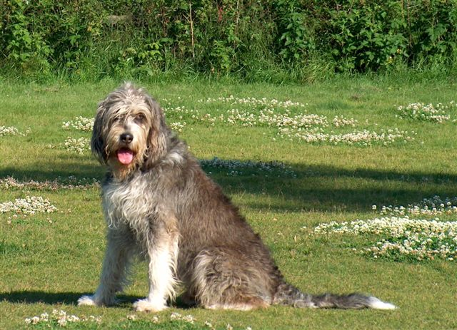 Otterhound sitting in grass