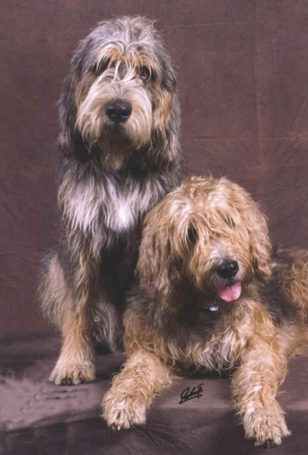 Otterhound's posing
