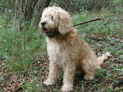 Otterhound in forest