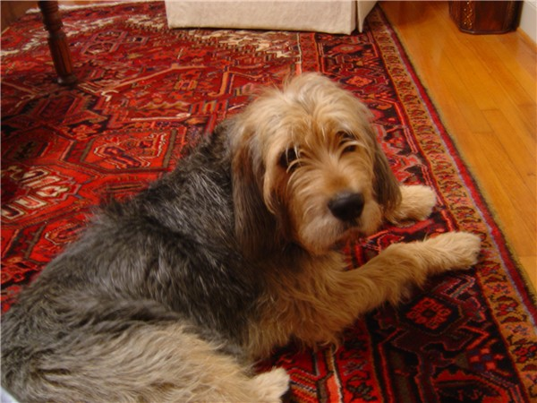 Otterhound lying on rug