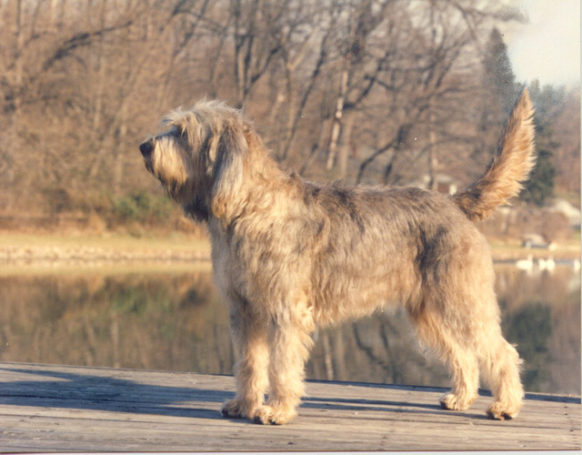 Otterhound posing in front of lake