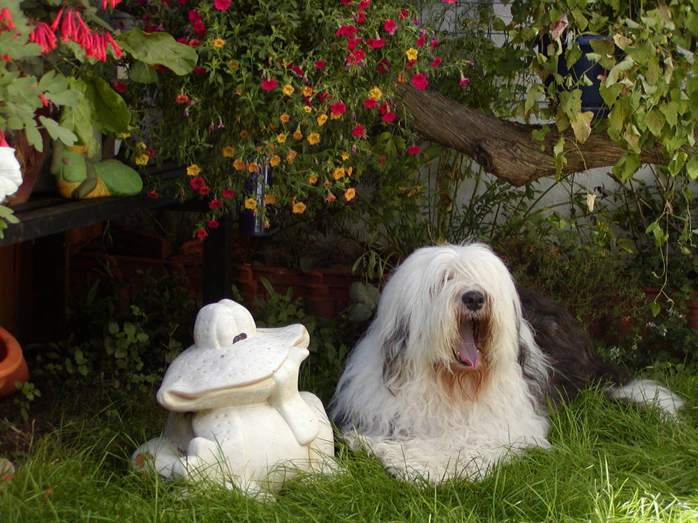 Old English Sheepdog lying with garden gnome