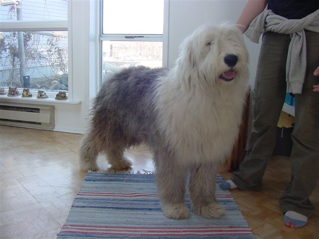 Old English Sheepdog being pet