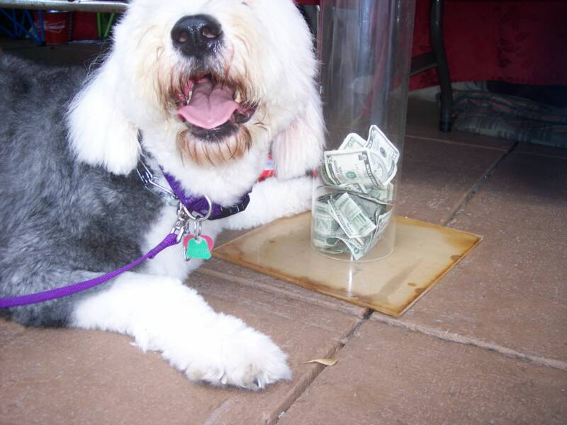 Old English Sheepdog begging for money