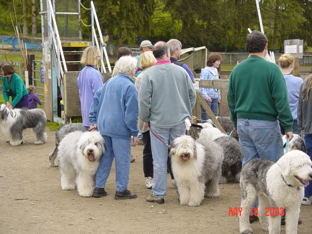 Old English Sheepdog convention