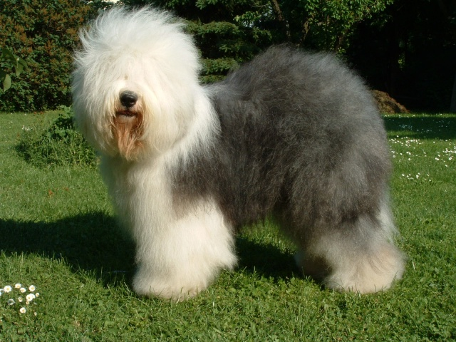 Old English Sheepdog standing in grass