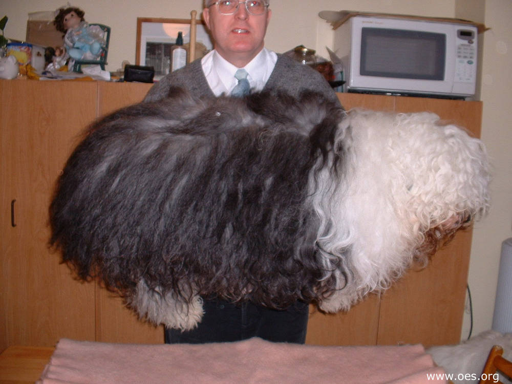 Old English Sheepdog needs grooming