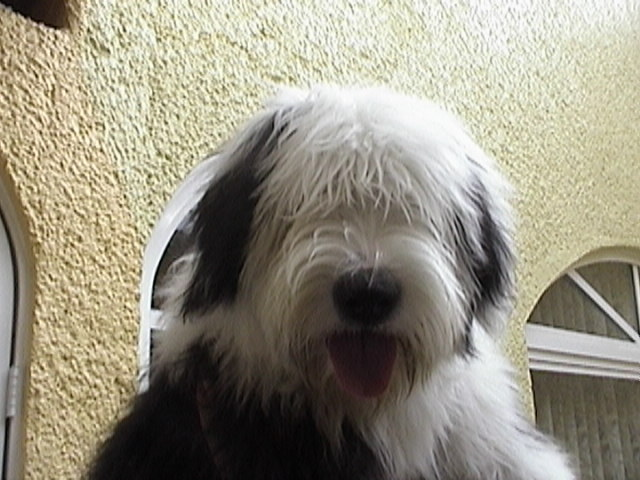 Old English Sheepdog face