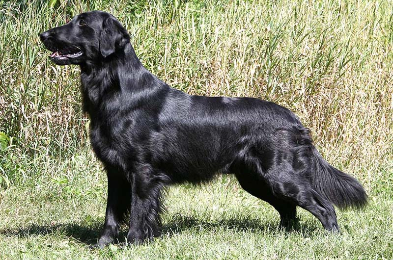 black coated retriever coloring pages - photo#20