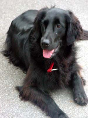 Flat-Coated Retriever Relaxing