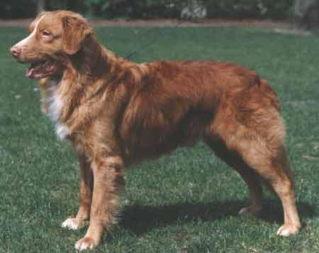 Nova Scotia Duck Tolling Retriever Standing on the Grass & Ready to Go!