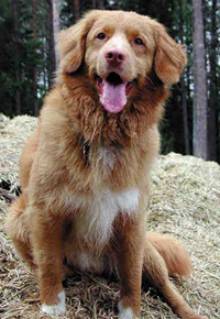 Nova Scotia Duck Tolling Retriever, Tongue Flapping