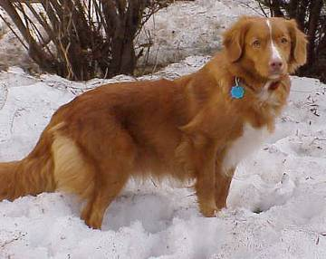Nova Scotia Duck Tolling Retriever Looks a Little Awkward in the Snow