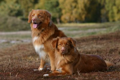 Two Nova Scotia Duck Tolling Retriever in the Field