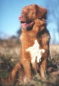Noble Looking Nova Scotia Duck Tolling Retriever Sitting Down in the Field