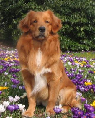 Nova Scotia Duck Tolling Retriever Sits on a Bed of Flowers