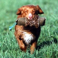 Nova Scotia Duck Tolling Retriever Doing his Job in the Field!