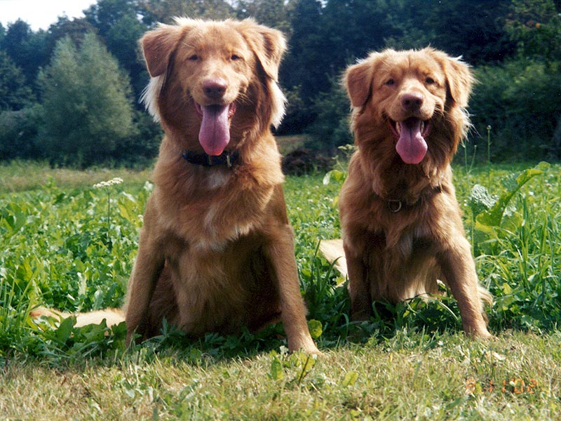 Two Happy Nova Scotia Duck Tolling Retrievers
