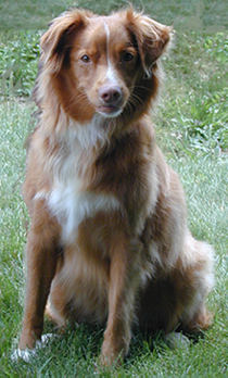 Curious, alert looking Nova Scotia Duck Tolling Retriever