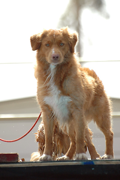 Beautiful Nova Scotia Duck Tolling Retriever Show Dog